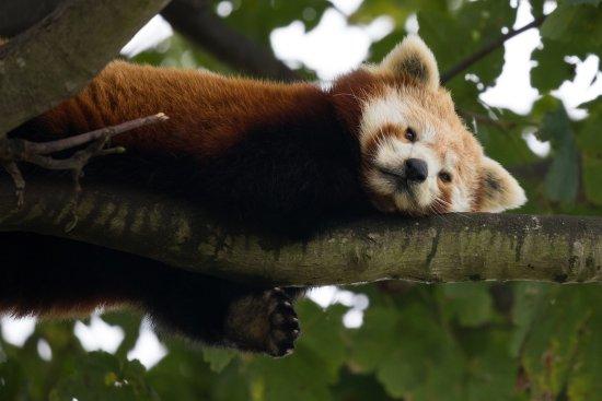 Colwyn Bay, UK: Red Panda...