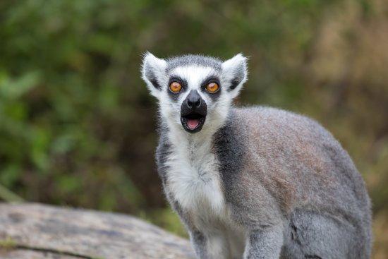 Colwyn Bay, UK: Lemur...
