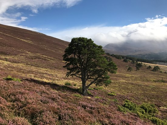 Aviemore and the Cairngorms, UK: Heather with the odd tree.