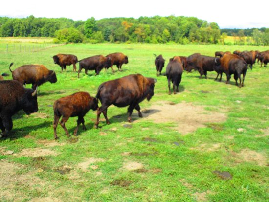 Bison herd in Fremont
