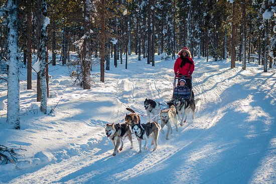 Saariselka, Finnland: Husky Safari. Siberian huskies are cheerful and strong dogs who really love to pull the sledge!