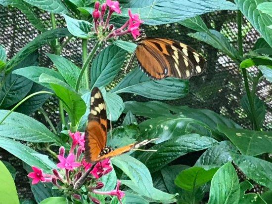 Monteverde Butterfly Garden (Jardin de Mariposas) : Butterflies