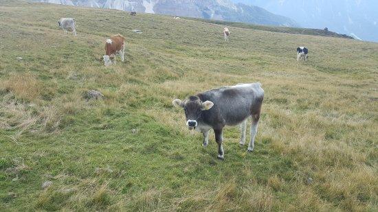 Plose: Mucche al pascolo (percorso 14)