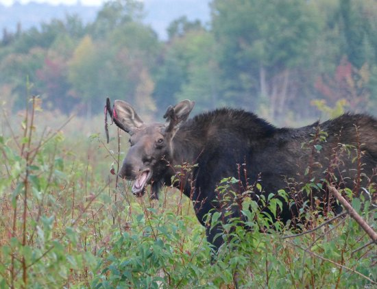 Greenville, ME: Even the moose are happy!