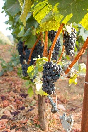 Sherwood, OR: Grapes