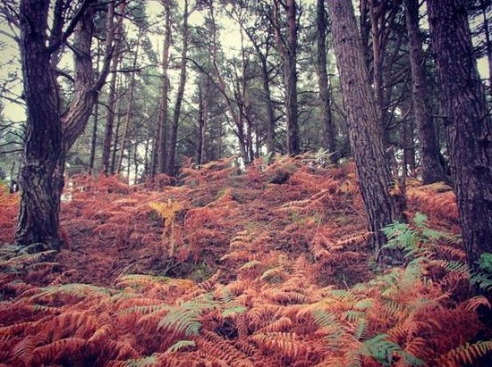 Furzebrook, UK: Autumnal ferns in the woodland by the Blue Pool