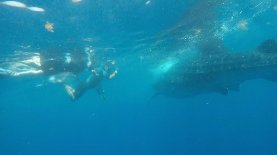 Captain Tony Garcia's Guadalupana Tour Boat: swimming with a whale shark