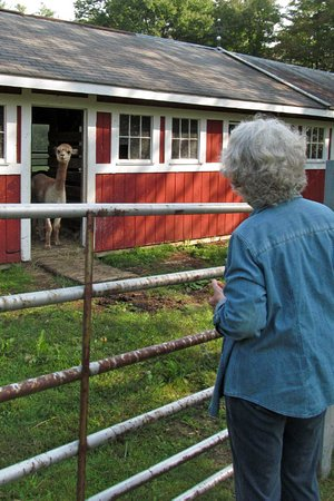 West Mountain Inn: alpaca interested in apples