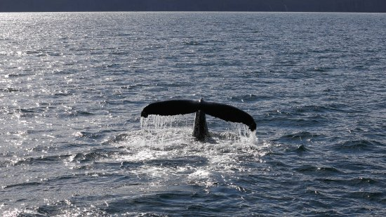 Husavik, Island: Wal Sichtung im Sonnenuntergang