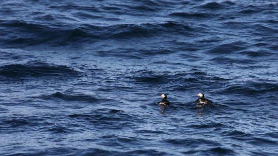 """Husavik, Island: """"Puffins"""" oder Papageientaucher (Isländisch Lundi) auf dem Rückweg der Wal Beobachtung"""