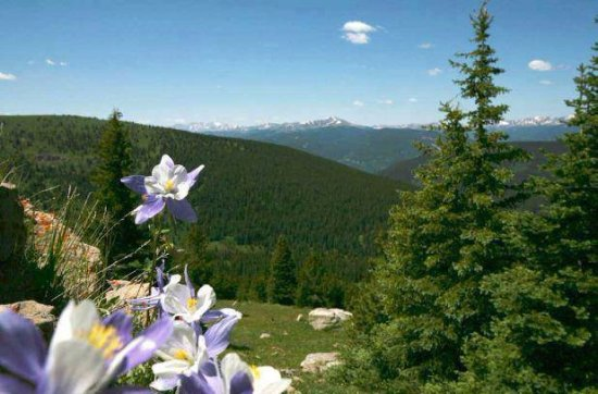 Red Cliff, CO: Columbines in the mountains above Nova Guides.