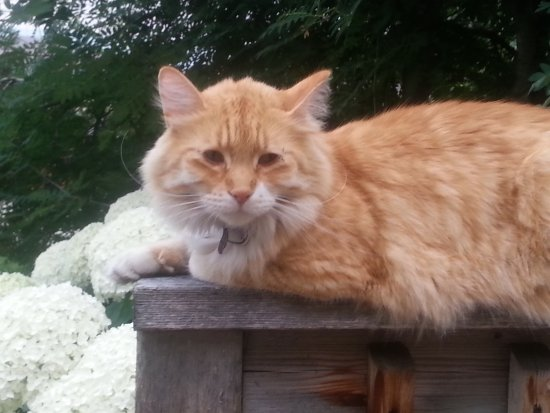 Summerland, Canada: One of the handsome tabbies that might greet you during your visit!