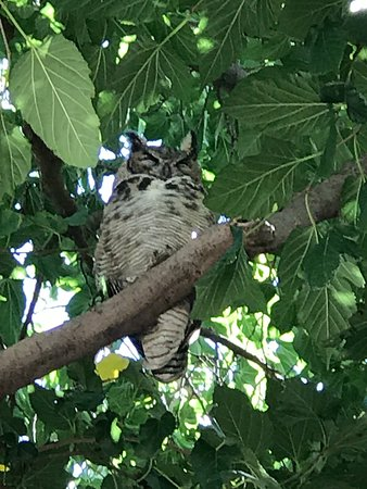 Clarkdale, AZ: Arizona Great Horned Owl