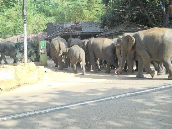 pinnawala elephant orphernage