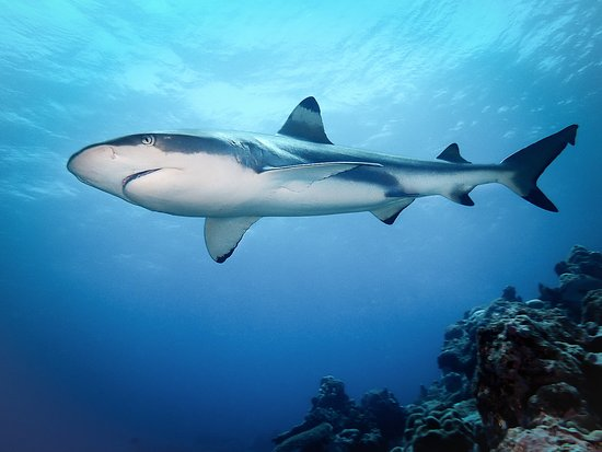 Colonia, Micronesia: one of many sharks!!!
