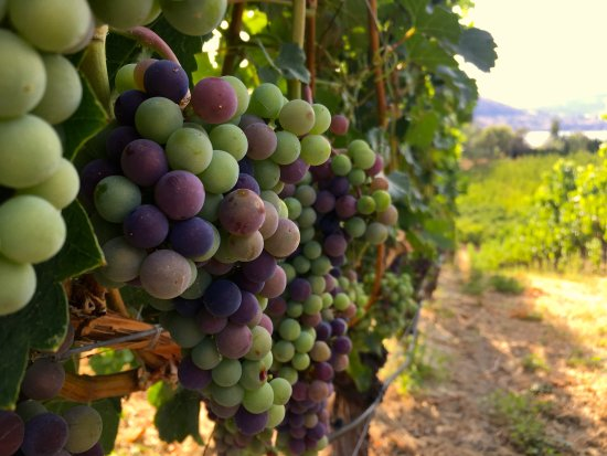 Penticton, Canada: Grapes changing colour (OpenAir Adventures & Wine Tours)