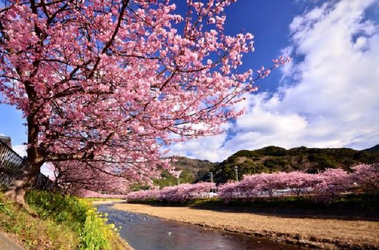 Beautiful Pink Kawazuzakura and Yellow...