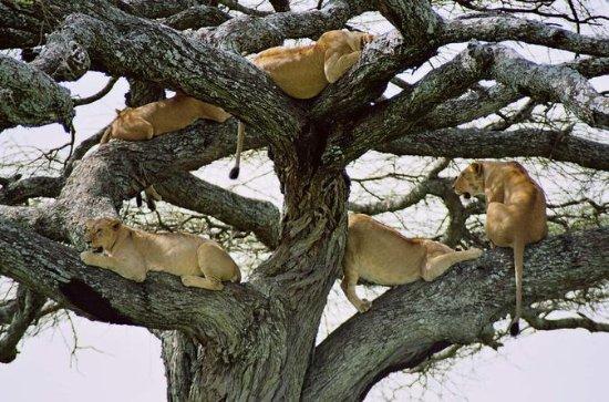 11 Dage Tanzania Luksus Wildlife...