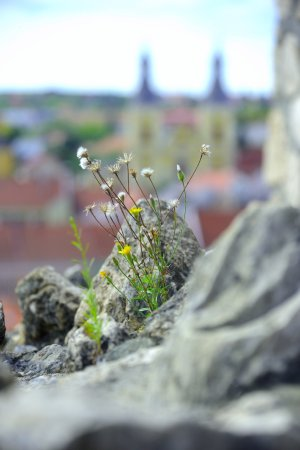 Eger, Ungheria: flower on the wall