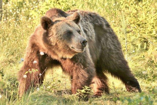 Skinnskatteberg, Швеция: Brown bear seen from our hide. Photo: David Tudor