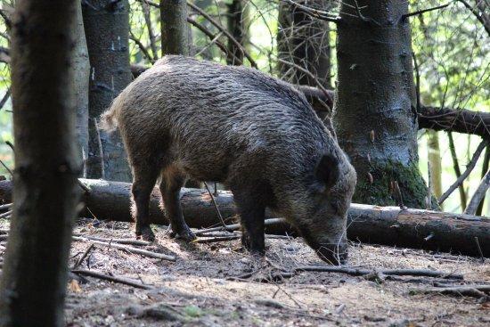 Wildnispark Zürich Langenberg: Wild boar (Sus scrofa)