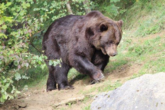 Wildnispark Zürich Langenberg: Brown bear (Ursus arctos)