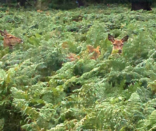 Richmond-upon-Thames, UK: young deer in the bracken
