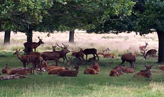 Richmond-upon-Thames, UK: the herd
