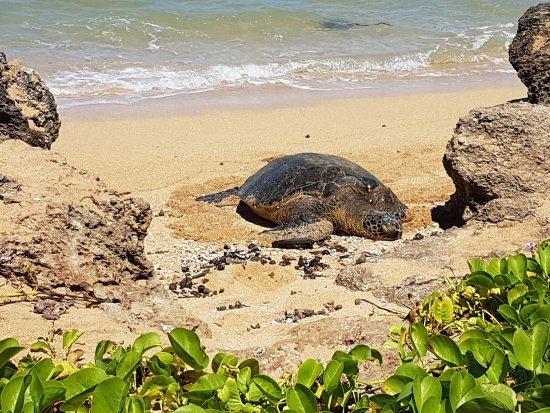 Laniakea Beach: 20170906_112118_large.jpg