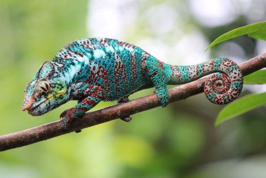 care for chameleon