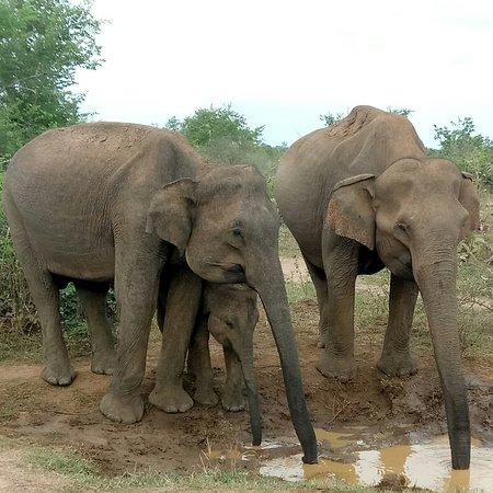Udawalawe National Park: IMG_20170916_172624_664_large.jpg