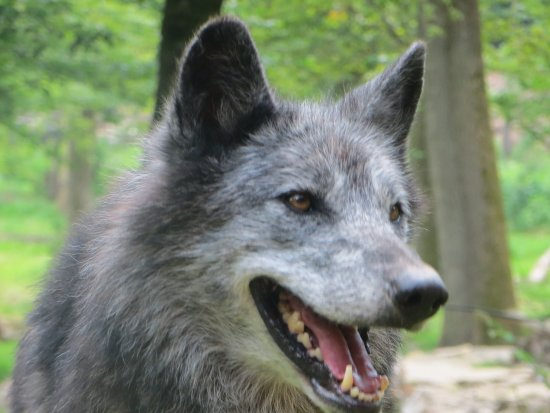 Loup gris photo de parc animalier de sainte croix - Photo de loup gris a imprimer ...