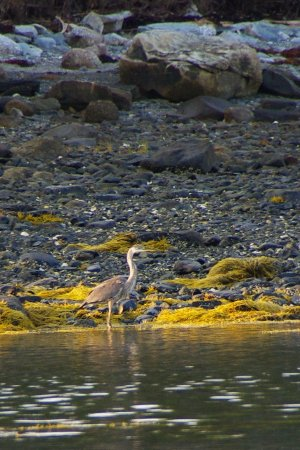 Seaside Cottages: Great Blue Heron seen from the beach