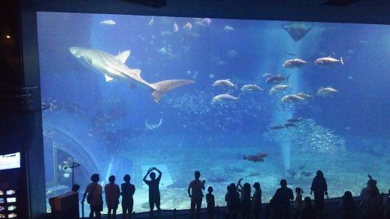 Okinawa Churaumi Aquarium: 大水槽です
