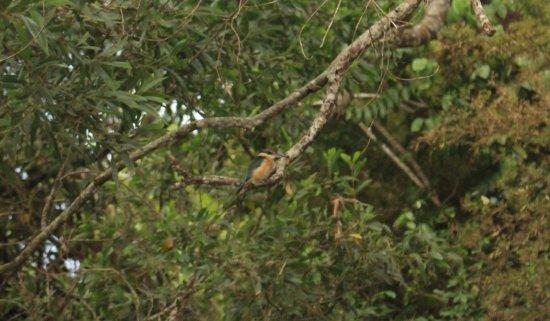 Daintree, Australien: Green kingfisher