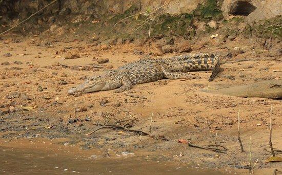 Daintree, Australien: Female croc