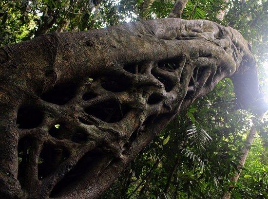 Cape Tribulation, Australia: Entangled trees