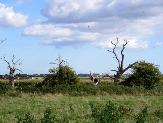 Έσσεξ (Κομητεία), UK: The Petrified Oaks at Mundon Essex