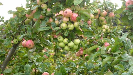 Knutsford, UK: Apple abundance