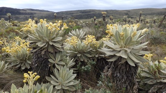 Parque Natural de Purace: Nur auf ueber min. 3000m im Paramo wachsen Frailejon.