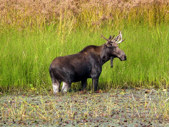 Plummer, ID: We saw Bullwinkle having lunch.