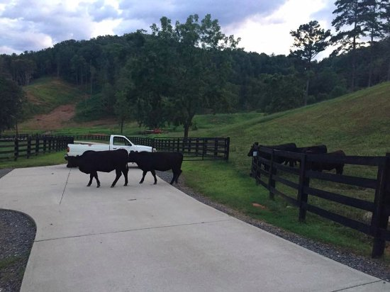 Hayesville, Carolina do Norte: More cows