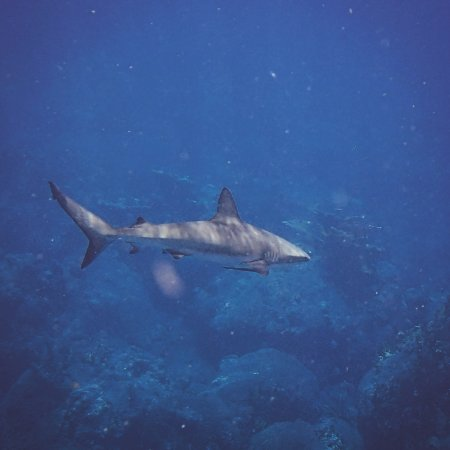 Windwardside, Saba: requin de récif