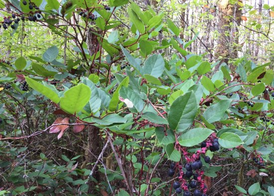 Ocean Park, Вашингтон: Salal berries along the trails