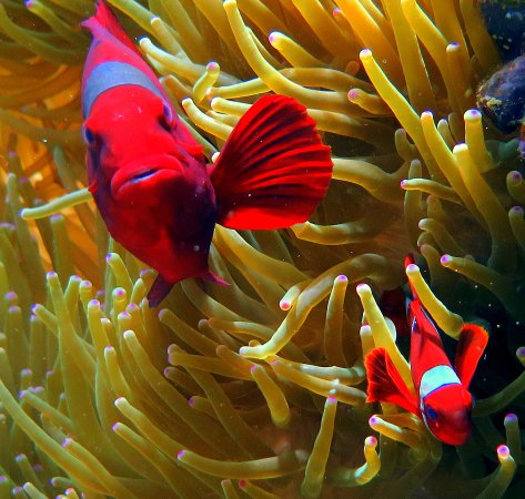 Siladen Resort & Spa: Tomato anemone fish