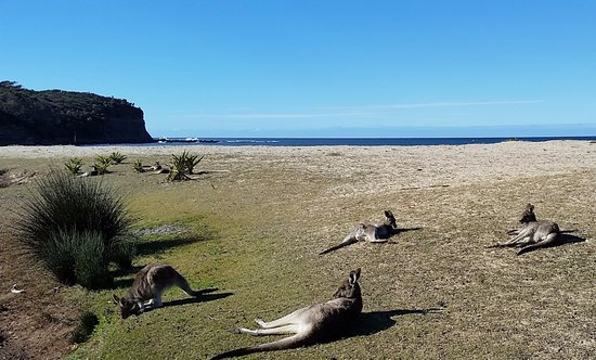 Shoalhaven, Australia: Kangaroos chilling by the beach