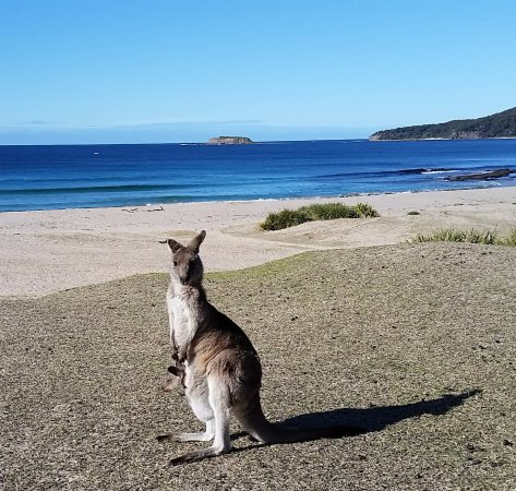 Shoalhaven, Australia: Mom with joey