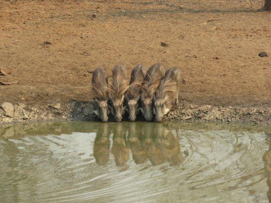 水飲み場に来たイボイノシシ - ...