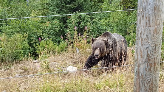 Golden, Canada: Boo the Grizzly Bear at Kicking Horse Mountain Resort
