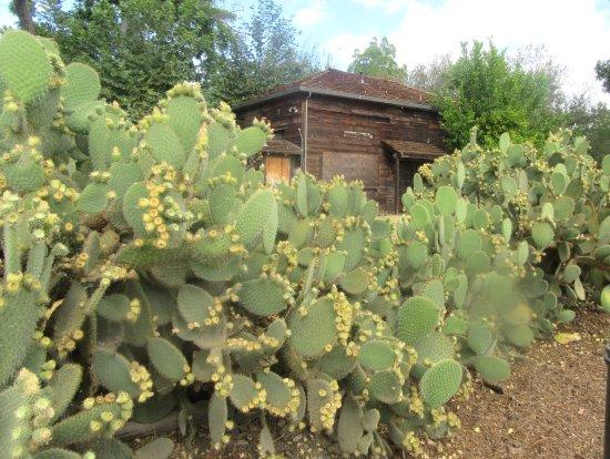 Cactus, Jose Higueara Adobe Park, Milpitas, Ca